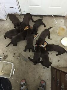 Chocolate lab puppies ( all spoken for)