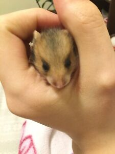 Baby hamsters ready!!