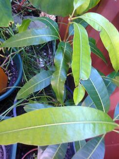 Mango Plant (gives 100's of mangoes) St Peters Marrickville Area Preview