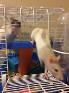 Selling friendly rats for a friend