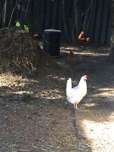 Laying hen for sale