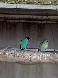 Pair Hooded Parrots