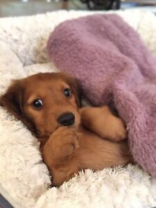 Dachshund Puppy Rutherford Maitland Area Preview