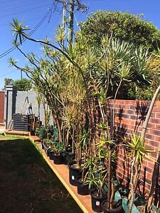 Dracena/ Dragon Trees For Sale Scarborough Stirling Area Preview