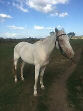Stock horse gelding 4000 ono Colinton Somerset Area Preview