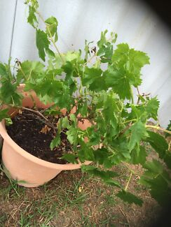 Grape vine / plant Kwinana Town Centre Kwinana Area Preview