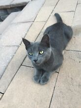 Free Blue Grey kitten for new home Picnic Point Bankstown Area Preview