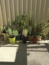 $$180 FOR 7 HEALTHY POT PLANTS IN POTS Warnbro Rockingham Area Preview
