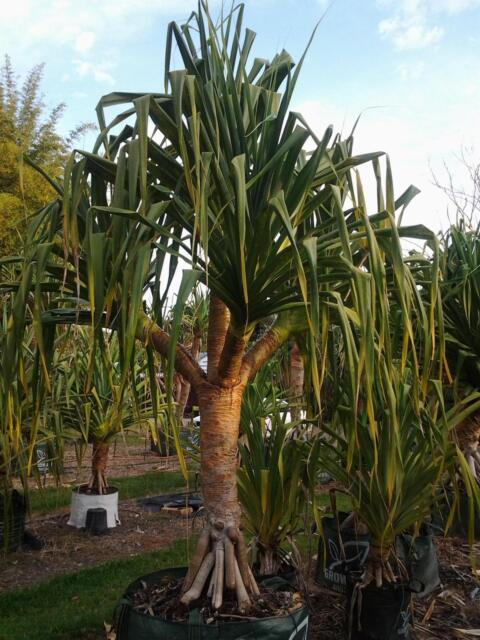 Plantation Pleasures Suppliers Of Pandanus Plants