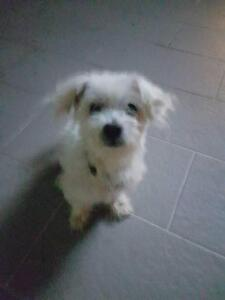 Free to good home Maltese named benji Silverdale Wollondilly Area Preview