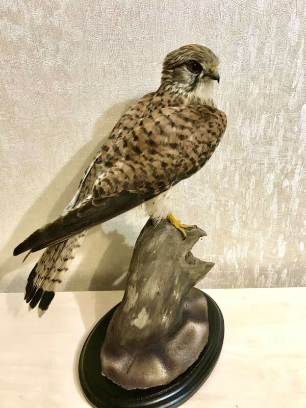 Taxidermy Mounts Common Ke.strel Real Bird Stuffed Home