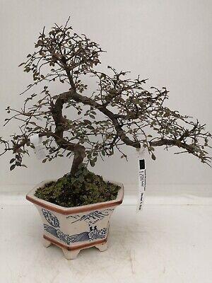 Bonsai di Olmo cinese h. 36 cm Visita il mio negozio!