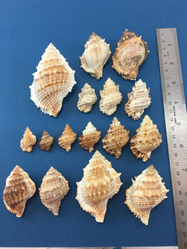 Bursa Mixed Lot Of 16 Bursidae Frog Shells No Data Some W/Op Bursina Bufonaria