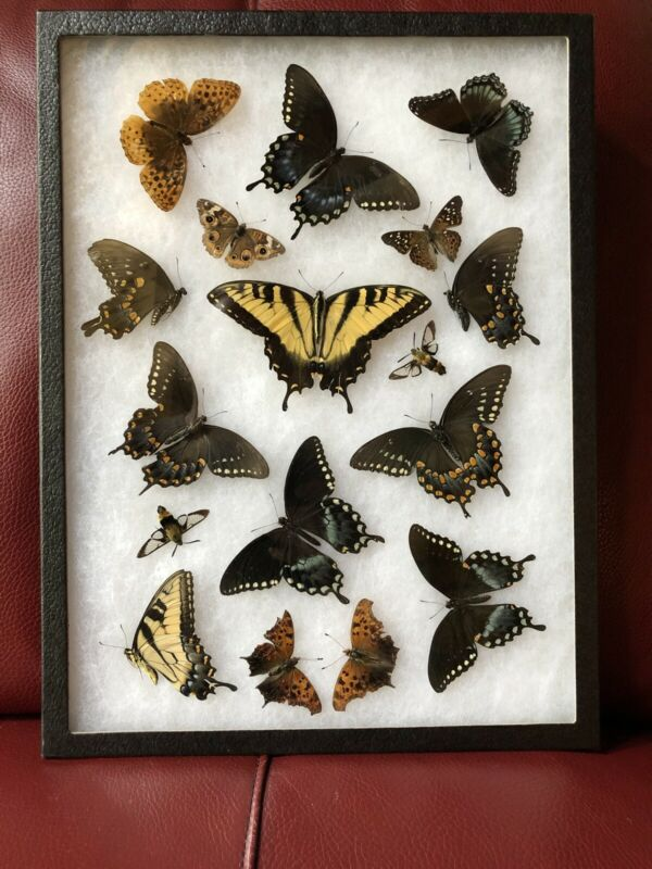 REAL NORTH AMERICAN FRAMED BUTTERFLY INSECT COLLECTION TAXIDERMY BUTTERFLIES