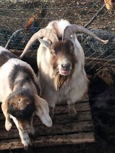 4 mini goats! Take all 4 for a reduced price