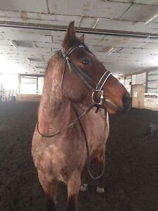 5 year old roan gelding for sale.