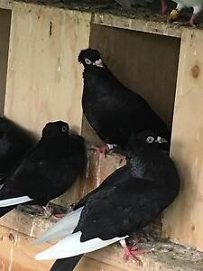 Serbian pigeons Endeavour Hills Casey Area Preview