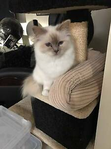 lilac point birman Lenah Valley Hobart City Preview