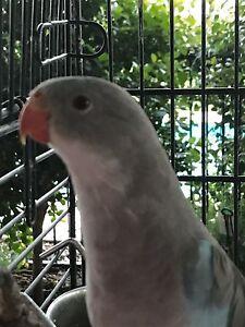 Blue princess parrot Ebenezer Ipswich City Preview