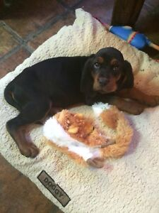 Looking for coonhound