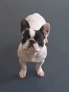 Female french bulldog Medowie Port Stephens Area Preview