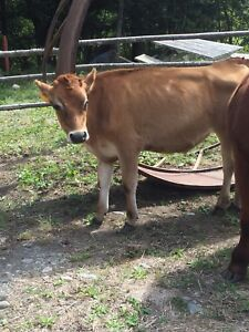 Two Jersey steers for sale