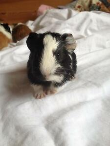 Cute baby guineapig Maitland Maitland Area Preview