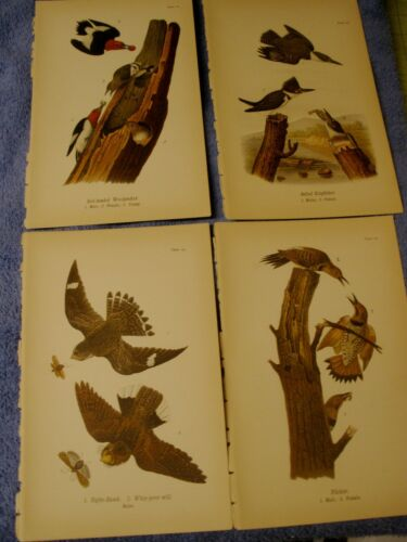 4 lot 1890 Chromolithograph, Color Bird Prints Antique Woodpecker KIngfisher