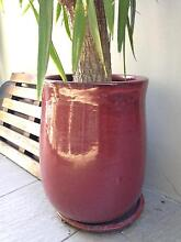 Large potted plant Bellevue Hill Eastern Suburbs Preview