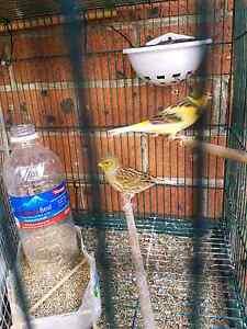 Breeding Canaries Auburn Auburn Area Preview