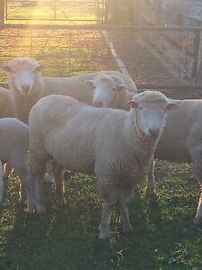 Sheep-Poll Dorset Rams Indigo Area Preview