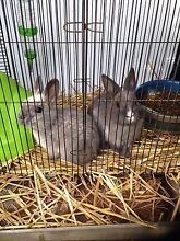 Baby rabbit Panania Bankstown Area Preview