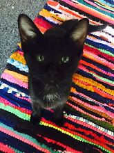 Sweetest rescue kitten for adoption! Nowra Nowra-Bomaderry Preview
