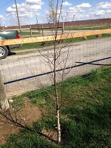 Saplings and small trees wanted