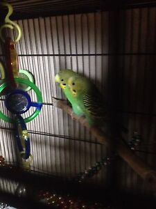 2 HEALTHY BUDGIES FOR SALE: