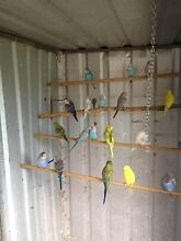 Budgies For Sale Dalby Dalby Area Preview
