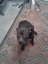 Nice looking Black Staffy Hocking Wanneroo Area Preview
