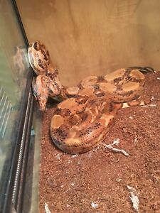 2 beautiful snakes for sale