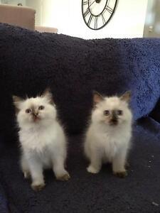 Adorable Ragdoll Kittens Drouin Baw Baw Area Preview