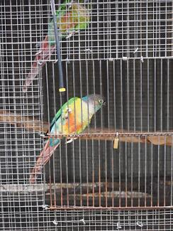 Selling breeding pair of green cheek conure Narangba Caboolture Area Preview