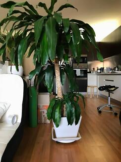 Large indoor plant (150cm tall) with ceramic pot $100