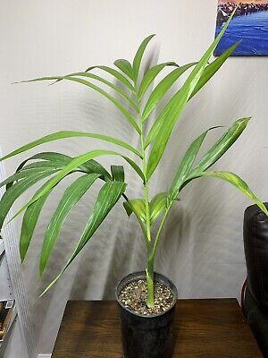 LIVE RARE Dypsis Pembana (Pemba Palm) Palm Tree