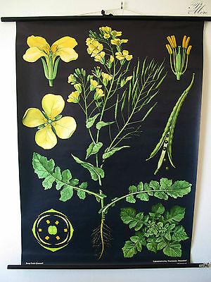 Antike Schulwandkarte Lehrkarte Rollkarte DEKO Raps old school map botanic rape