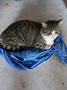 Tabby Domestic Short Hair Male Cat 1 year old Salamander Bay Port Stephens Area Preview
