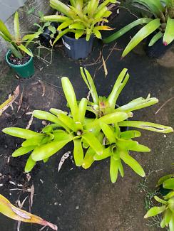 Broms bromelaids brom bromilaides plants