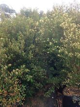 Lilly pilly cherry surprise 45 litre bag Leppington Camden Area Preview