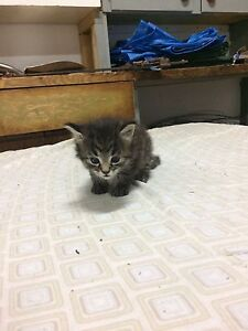Male Tabby Kitten
