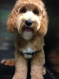 Doodle Do's.  Dog Grooming for Doodles Only