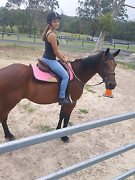 Standardbred gelding 15hh PRICE DROP !! Killarney Vale Wyong Area Preview