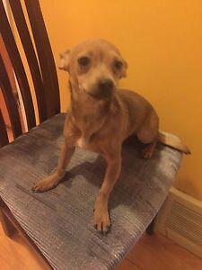Chihuahua à vendre à qui la chance !!!!! NÉGO!!!
